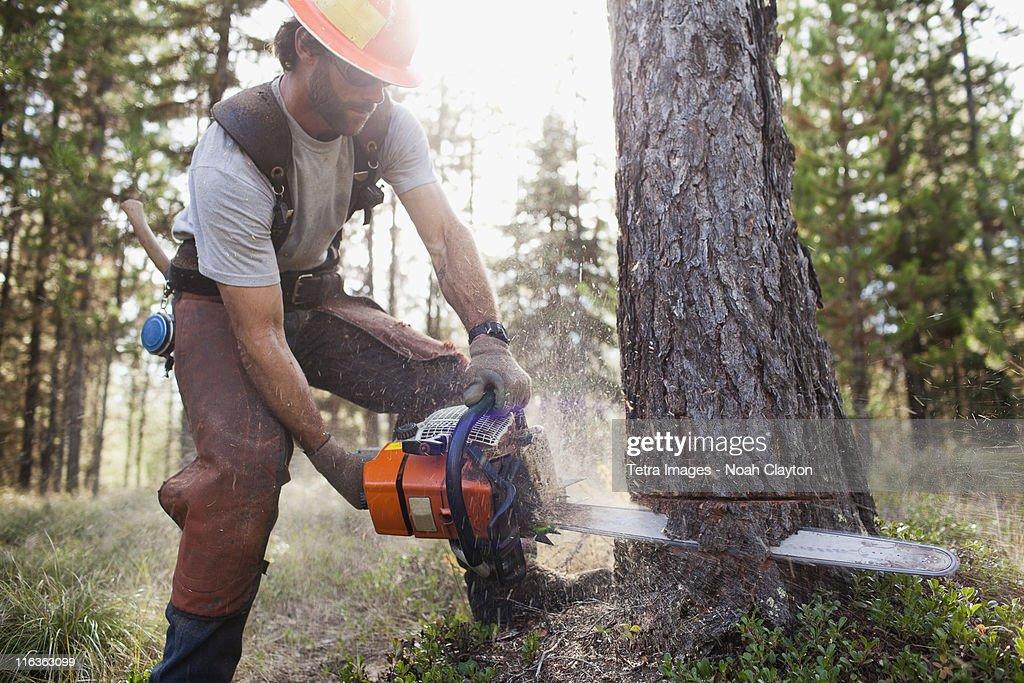 USA, Montana, Lakeside, lumberjack felling tree : Stock Photo