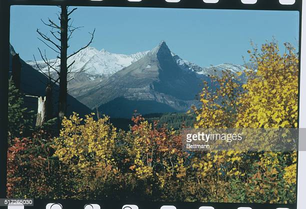 Montana fall turns berry bushes to reddish rust among yellow aspens in Glacier National Park as first snows cover glacial ice peaks of the Rockies...