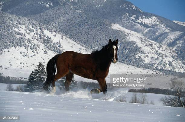 USA, Montana, quarter horse walking in snow