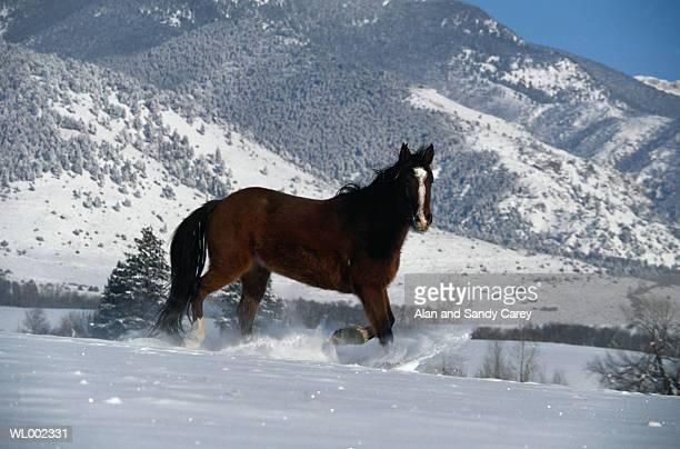 USA, Montana, quarter horse walking in snow