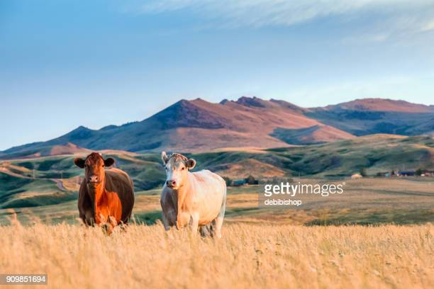 Montana Scenic - Two pretty cows standing in tall grass with a mountain landscape background