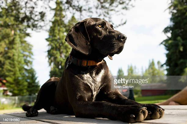 USA, Montana, Whitefish, Black dog in backyard