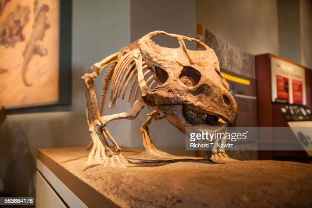 montanoceratops - field museum of natural history stock pictures, royalty-free photos & images