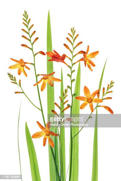 montbretia - mandy muse stock pictures, royalty-free photos & images