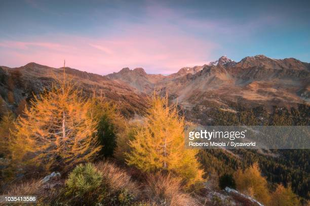 monte disgrazia and corni bruciati, italy - larch tree stock pictures, royalty-free photos & images
