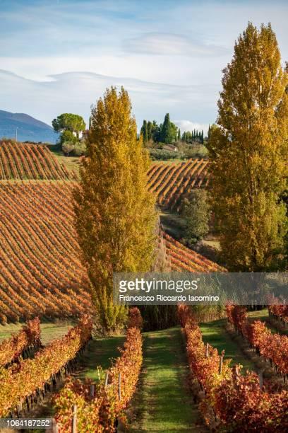 montefalco, sagrentino wine vineyards in autumn, umbria, italy - モンテファルコ ストックフォトと画像