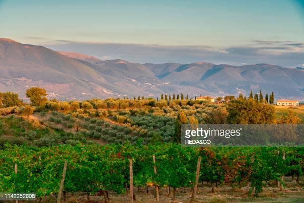 Montefalco. Vineyard at sunset. Umbria. Italy. Europe.