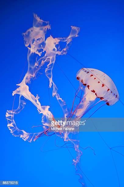 Monterey Bay Acquarium, Purple striped Jellyfish