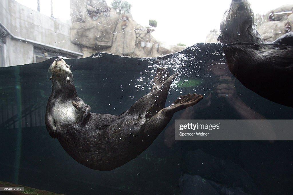 monterey ca monterey bay aquarium sea otters are back in their