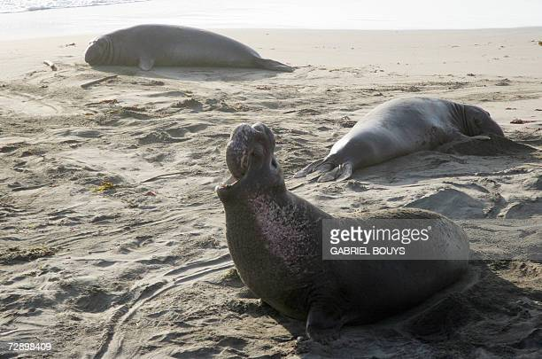 Elephant seals are seen on the Piedras Blancas' beach near Carmel California 25 December 2006 Elephant seals come ashore and form colonies for only a...