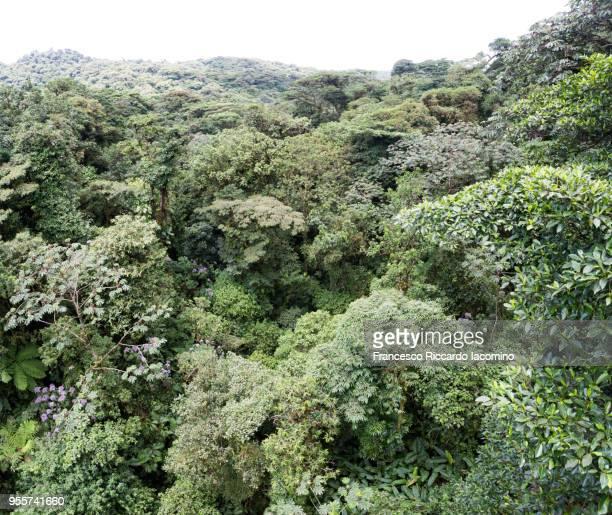 monteverde cloud forest, costa rica - iacomino costa rica foto e immagini stock