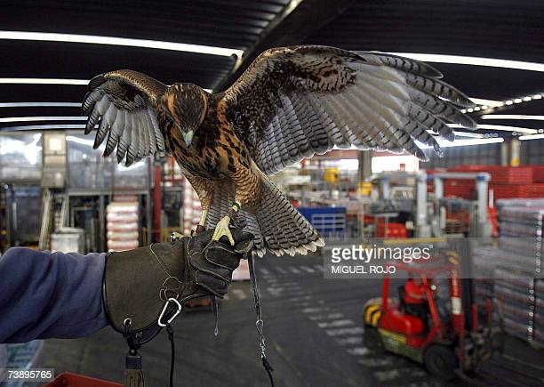 A Harris Hawk perches on the arm of his trainer 13th April 2007 at a bottling plant in Montevideo Harris Hawks are being hired here and in a bus...