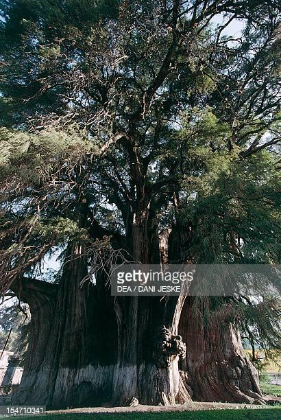 Montezuma Cypress Cupressaceae