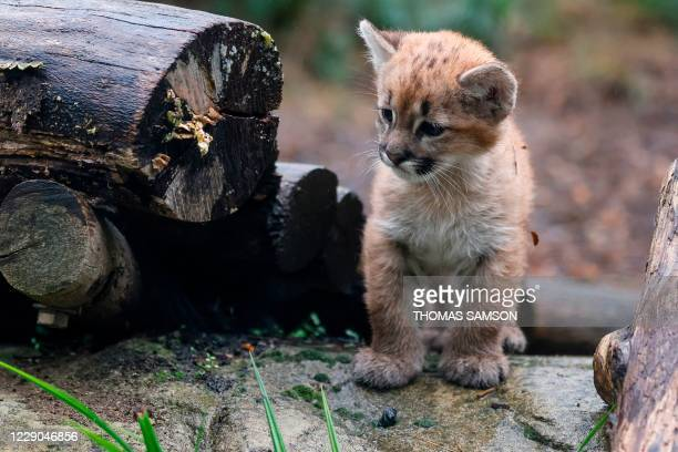 Month and a half female puma cub, Emy, born on August 21, 2020 looks on in its enclosure at the Zoo de Vincennes near Paris, on October 13, 2020.