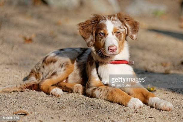 4 month Australian Shepherd!