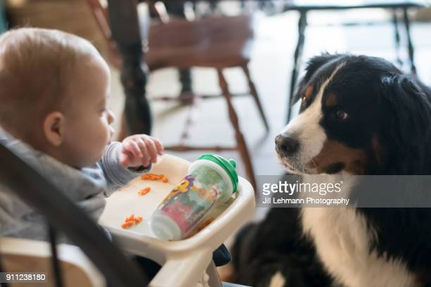 16 Month Fraternal Twin Baby Boy Shares His Food with His Large Bernese Mountain Dog