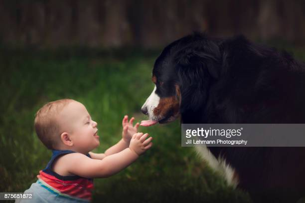 12 month old baby boy interacts lovingly with large bernese mountain dog - monat stock-fotos und bilder