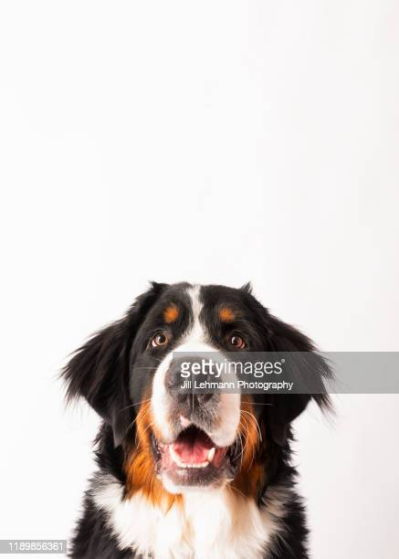 8 month old bernese mountain dog puppy poses in a head shot in studio - naughty america stock pictures, royalty-free photos & images