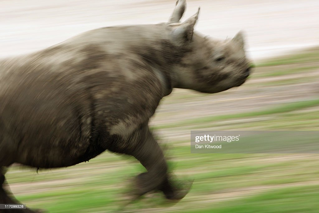A 6 month old Black Rhino calf plays in its enclosure at Lympne Wild