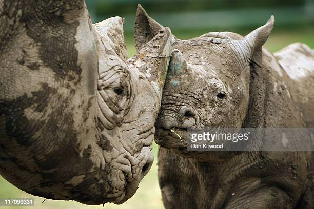 A 6 month old Black Rhino calf stands with its mother in its enclosure at Lympne Wild Animal Park on June 21 2011 in Hythe England Port Lympne has...