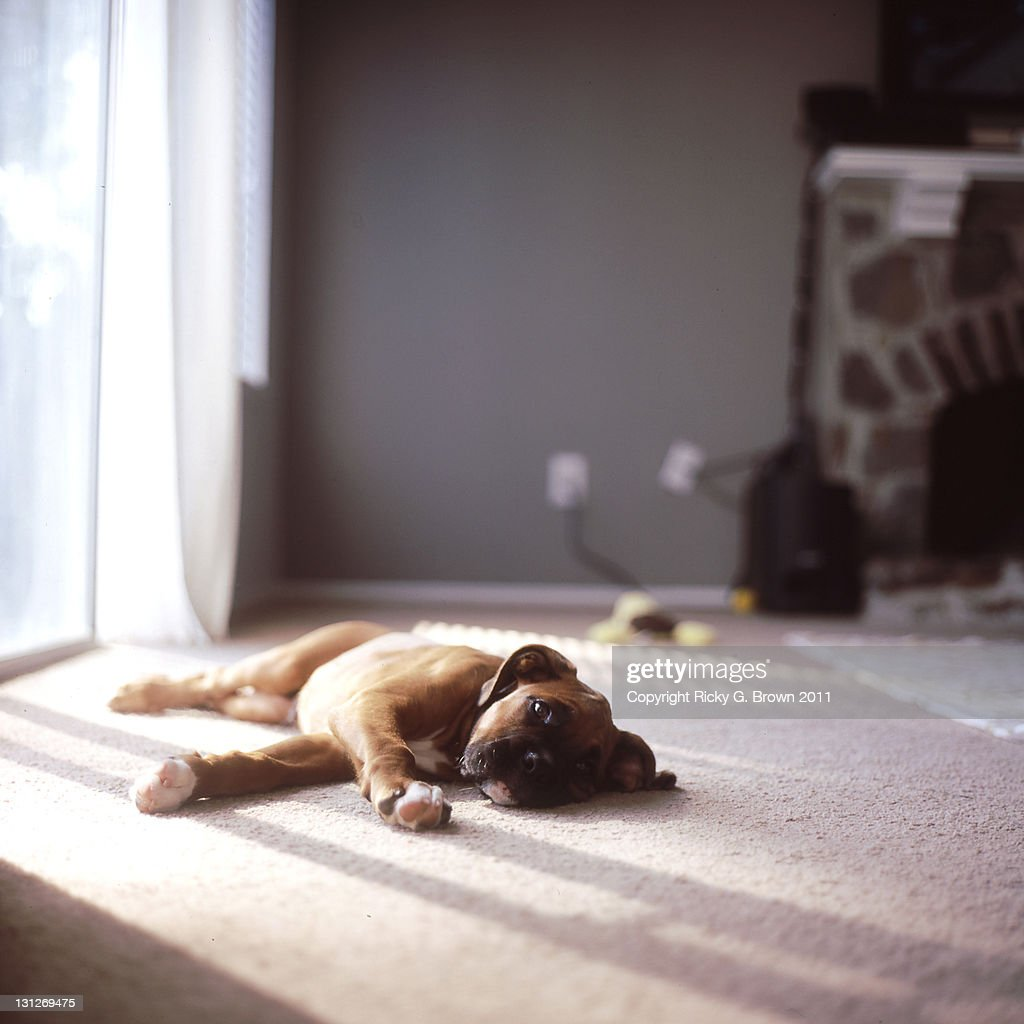 3 month old boxer puppy laying in living room stock photo getty images