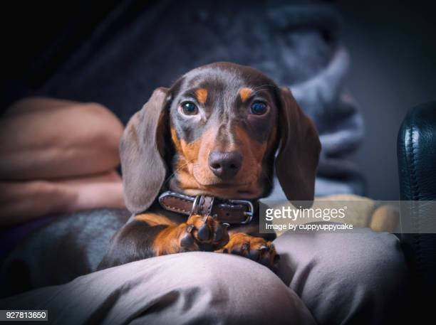 4 month old dachshund - dachshund stock pictures, royalty-free photos & images