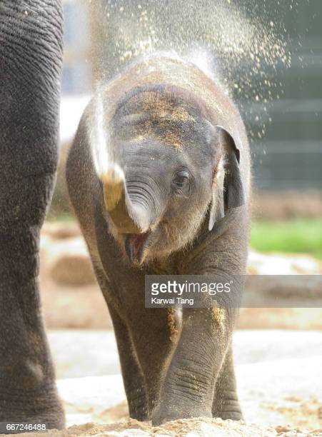 10 month old Elizabeth the baby elephant enjoys the sun prior to the opening of the new Centre for Elephant Care by Queen Elizabeth II and Prince...