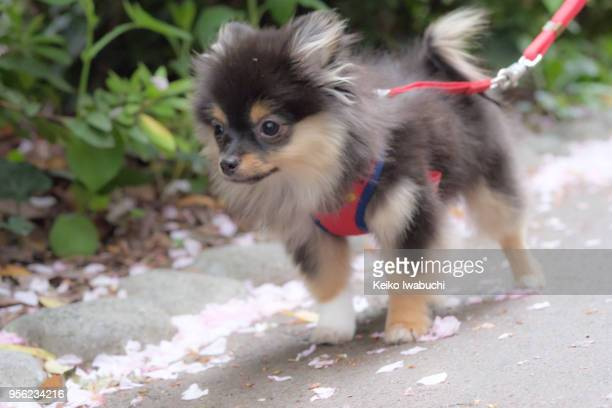 6 month year old of a pomechihua - japanese spitz stock pictures, royalty-free photos & images