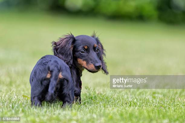 4 month young mini (americam) dachshund - dachshund stock pictures, royalty-free photos & images