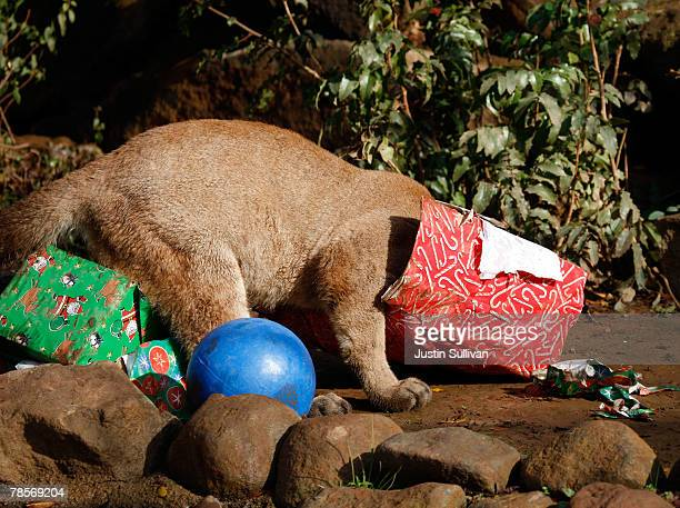 A 10 monthold cougar cub named Ashkii gets his head into a Christmas gifts filled with play toys and pine cones December 19 2007 at Six Flags...