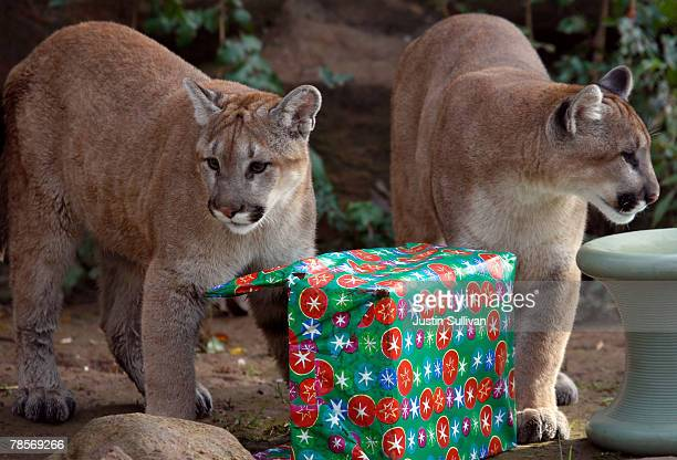 10 monthold cougar cubs named Yazhi and Takoda open Christmas gifts filled with play toys and pine cones December 19 2007 at Six Flags Discovery...
