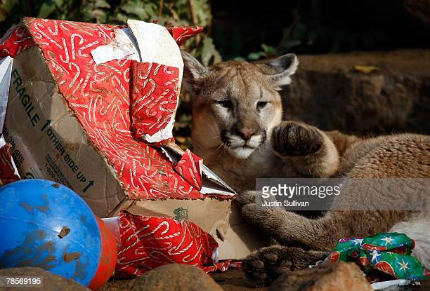 A 10 monthold cougar named Takoda opens a Christmas gift filled with play toys and pine cones December 19 2007 at Six Flags Discovery Kingdom in...