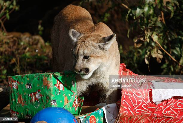 A 10 monthold cougar named Takoda opens Christmas gifts filled with play toys and pine cones December 19 2007 at Six Flags Discovery Kingdom in...