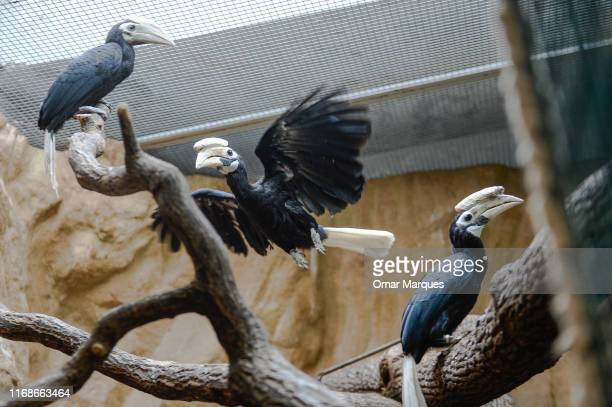 Months new born Palawan Hornbill and his parents Avilon and Sofia stand on a tree branch next to his parents Avilon and Sofia in an indoor inclosure...