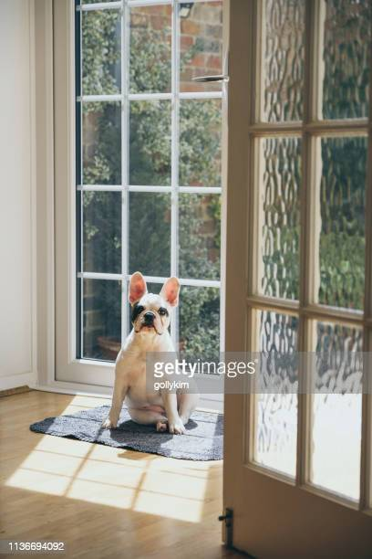 4 months old french bulldog sunbathing by the door - french doors stock pictures, royalty-free photos & images