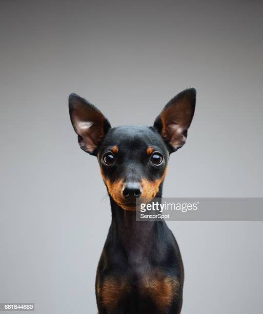 4 months old miniature pinscher puppy