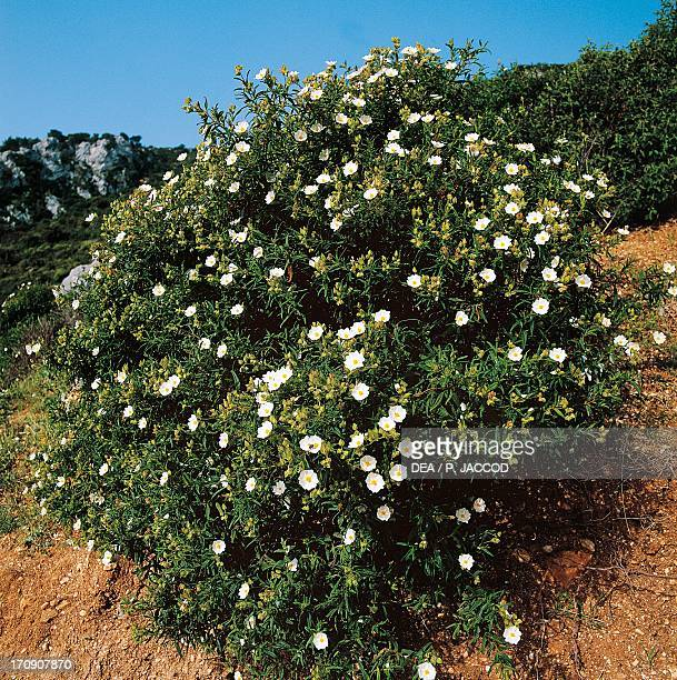 Montpelier cistus rockrose National Park of the Bay of Orosei and Gennargentu Sardinia Italy