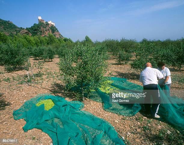 Montroig del Camp Tarragona Catalonia Harvesting of olives