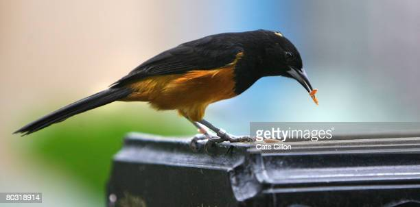 Montserrat Oriole bird feeding on maggots on March 20 2008 in London England The species of the Montserrat Oriole bird is critically endangered is...