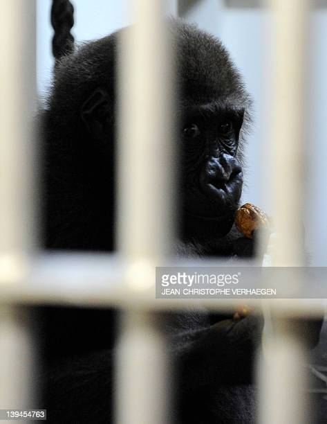 Monza 4 yearold a gorilla male stands in its enclosure at the Amneville zoo eastern France on February 21 2012 Ya Kwaza arrived with four other...