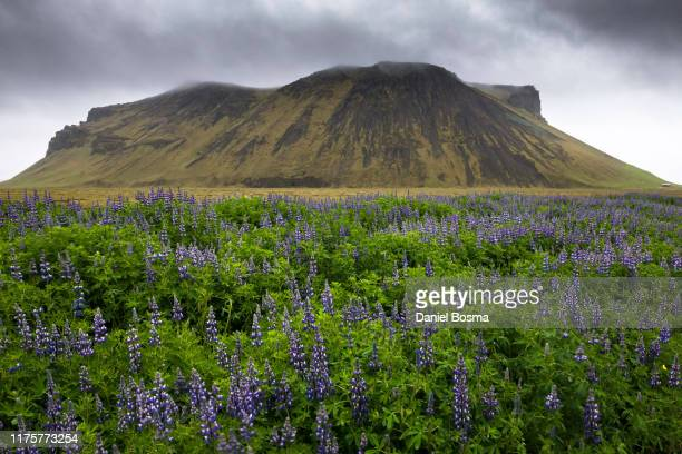 moody landscape in iceland with large group of lupines in foreground - exotic_species stock pictures, royalty-free photos & images