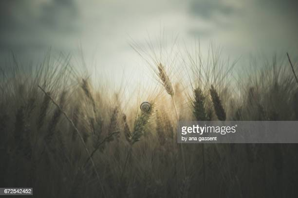 moody wheat field - frescura stock pictures, royalty-free photos & images