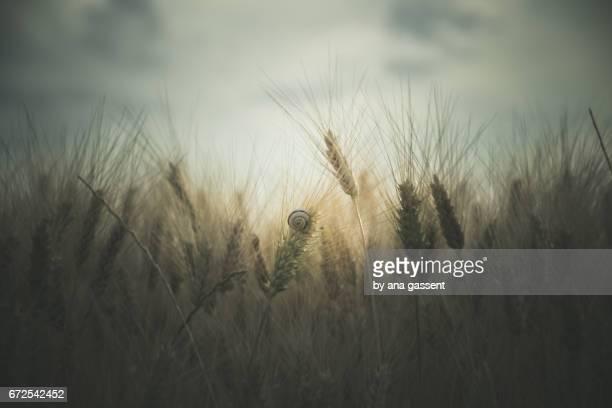 moody wheat field