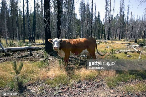 mooing cow in forest - cow mooing stock pictures, royalty-free photos & images