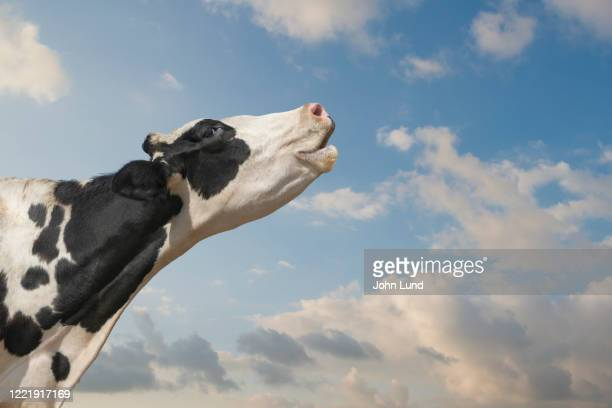 mooing holstein cow - cow mooing stock pictures, royalty-free photos & images
