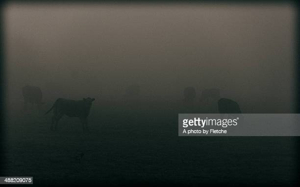 mooing in the mist - cow mooing stock pictures, royalty-free photos & images
