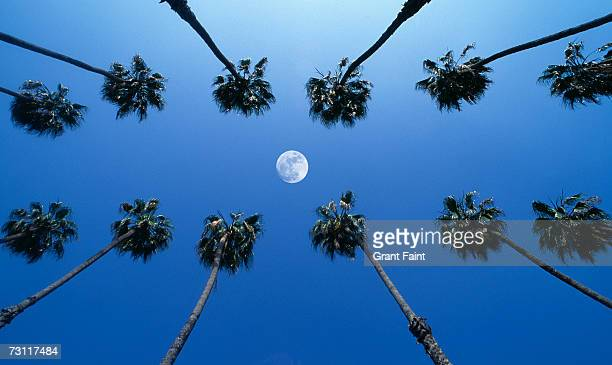 Moon between rows of palm trees, Hollywood, Los Angeles, California, USA