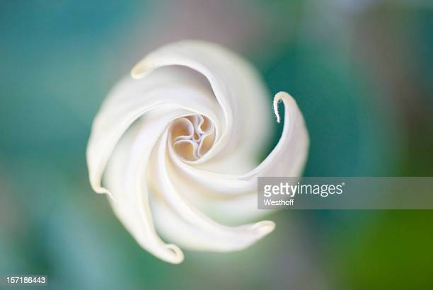 a moon flower blossom with a blurry background - bud stock pictures, royalty-free photos & images
