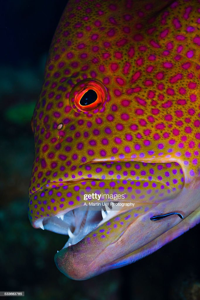 Moon grouper (Variola louti) : Foto stock