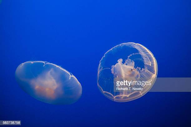 moon jelly fish - lions mane jellyfish stock pictures, royalty-free photos & images
